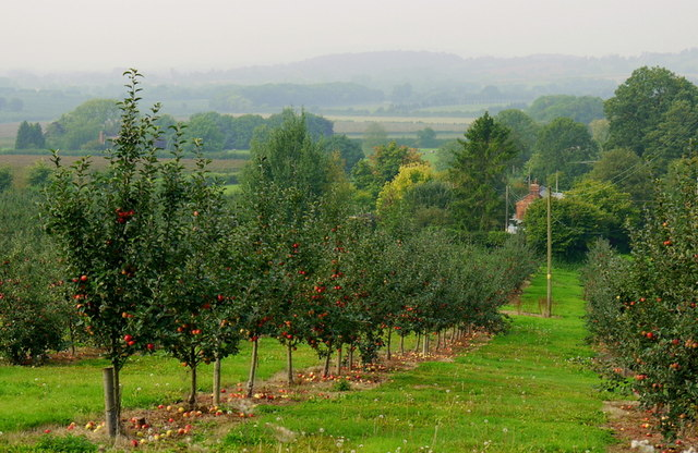 Young cider apple orchard
