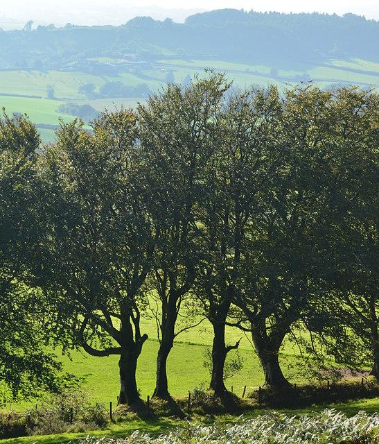 Tree line to the west at Pilsdon Pen, Dorset