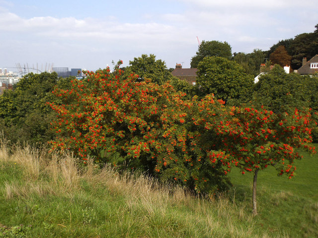 A bumper crop of rowan berries