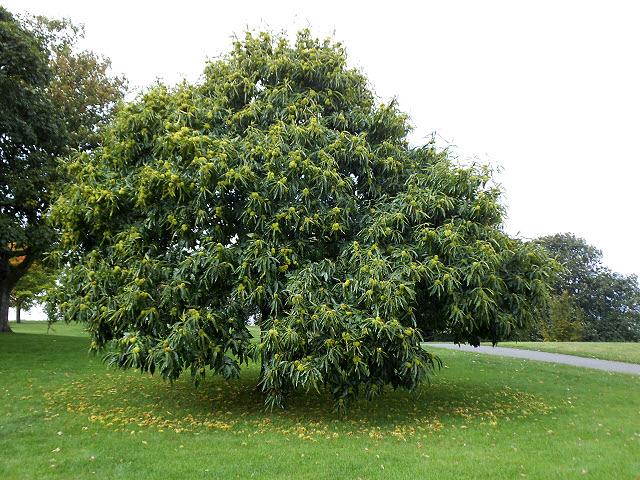 Chestnuts galore