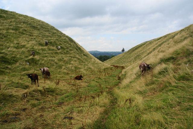 Cattle in Narrowdale