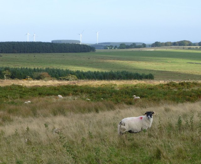 Sheep in rough grazing on Eglingham Moor