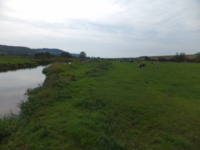 Cows beside the River Axe