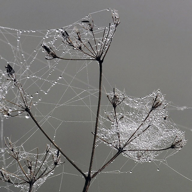 Nature's silver threads and pearls