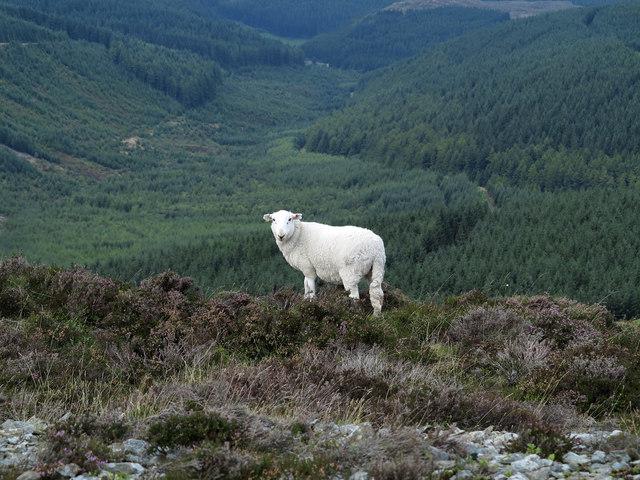 Sheep on heather slope