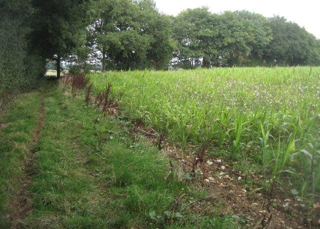 Corner of maize - Halves Wood