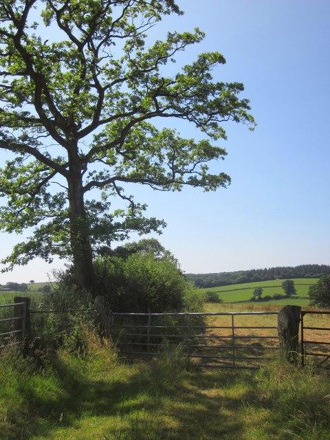 Oak by Town Moor Hill