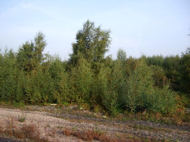 Trees beside the railway, Gunness Junction