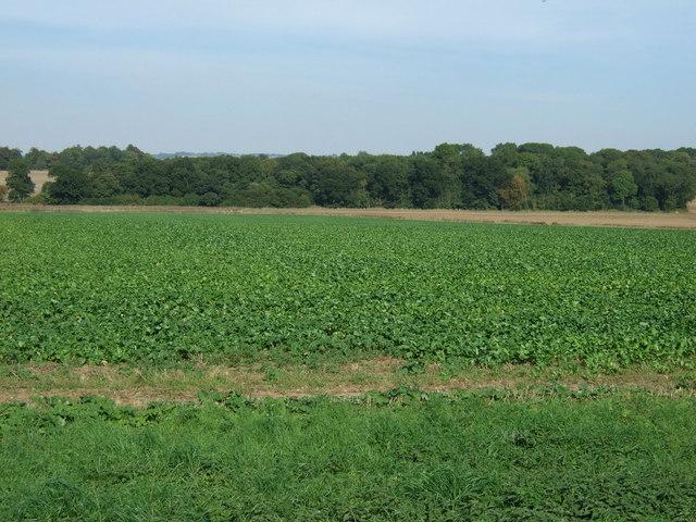Crop field near Scrivelsby