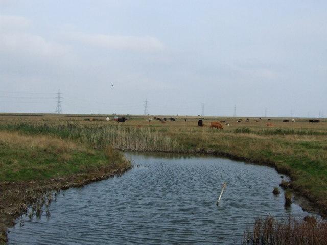 Grazing Cattle, Ham Marshes