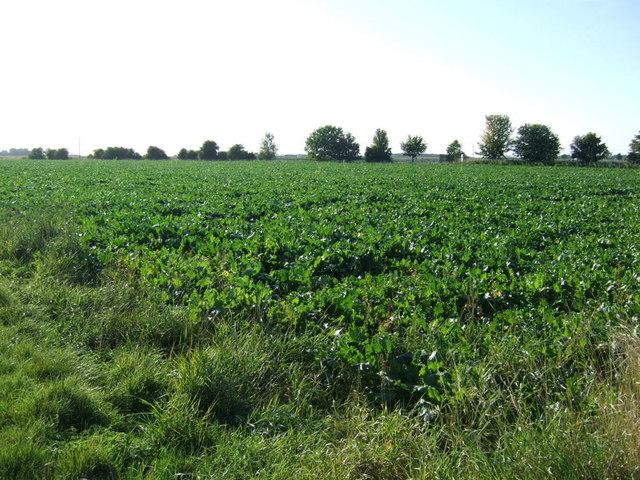 Crop field near Langrick Bridge