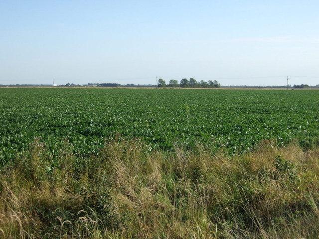 Crop field near Brothertoft
