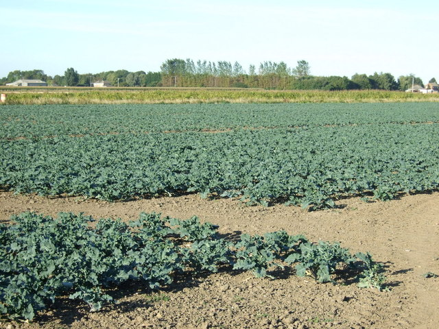 Crop field off Punchbowl Lane