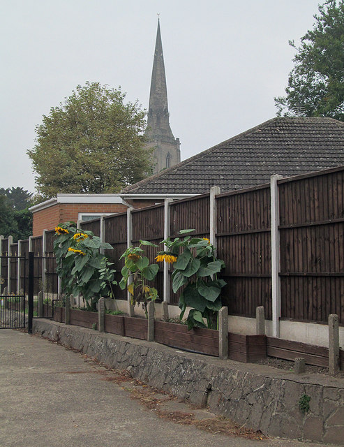 Gedling: spire and sunflowers