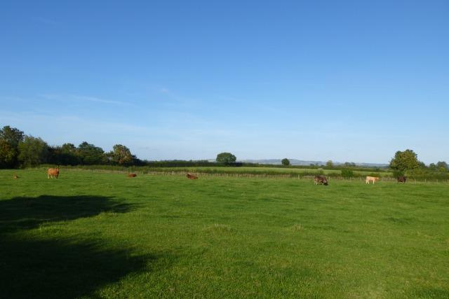 Cows near Full Sutton
