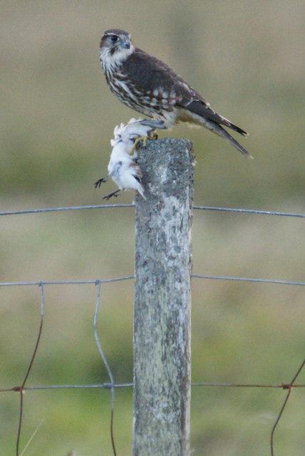 Merlin (Falco columbarius), Haroldswick
