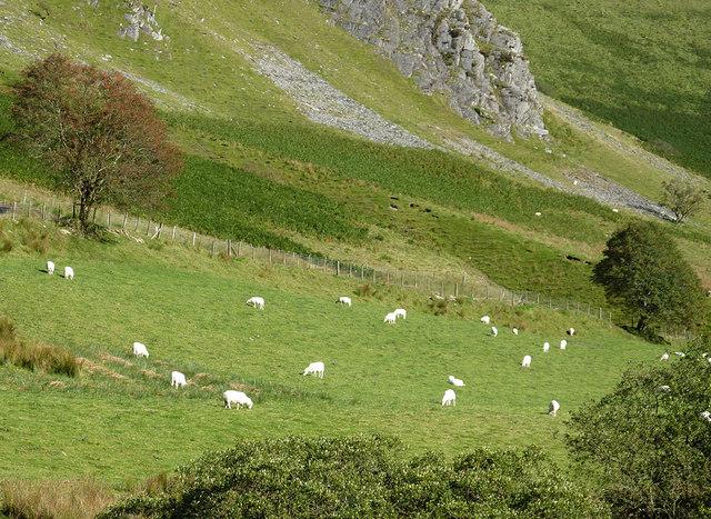 Grazing in Cwm Tywi, Powys