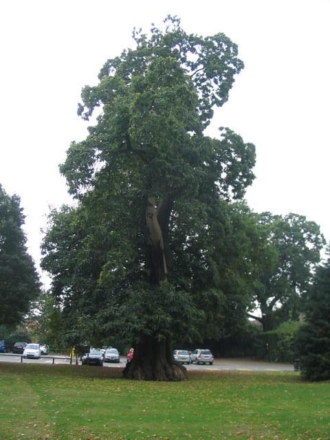 Sweet chestnut, Allesley Park