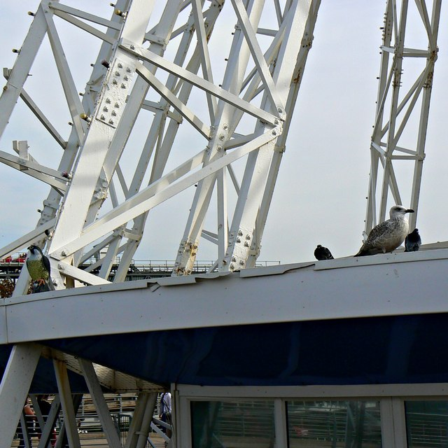 Avian visitors and a resident, Blackpool Pleasure Beach
