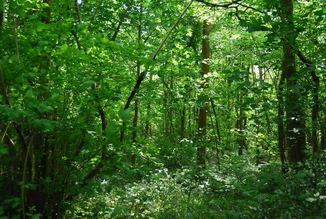 Dense vegetation, Broke's Wood