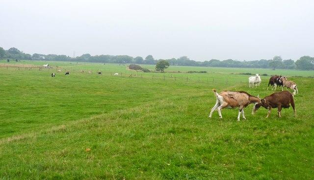 Goat Field
