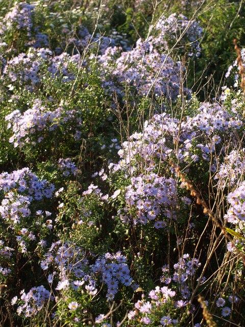 Michaelmas daisies, former Barton landfill