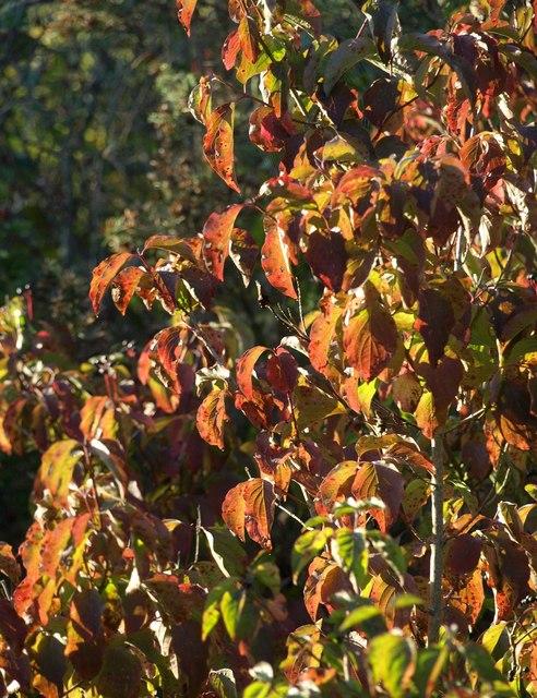 Cherry leaves, former Barton landfill