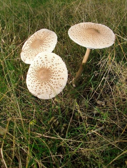 Parasol mushrooms (Macrolepiota procera), Lawn Plantation (2)