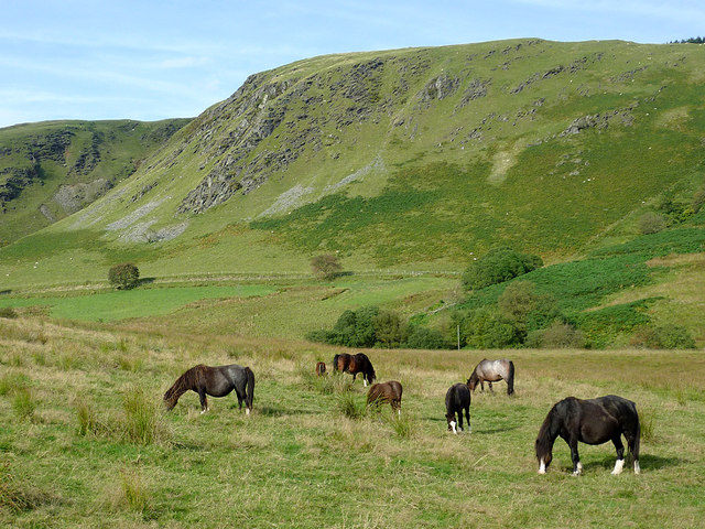 Grazing in Cwm Tywi near Dolgoch, Ceredigion