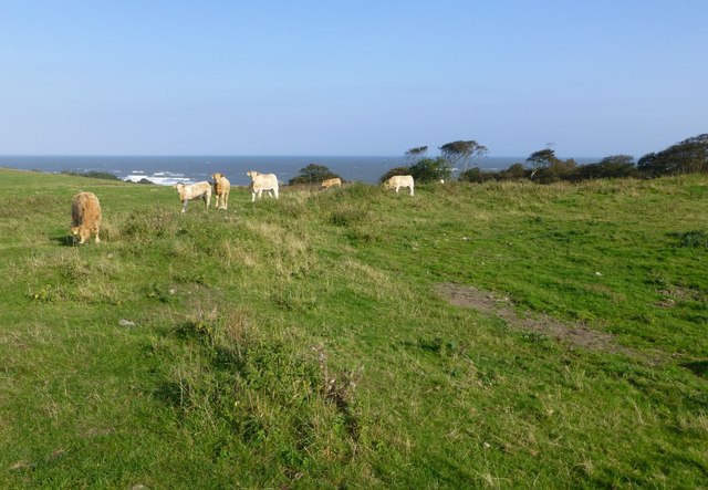 Cattle on the edge of Howick Hillfort