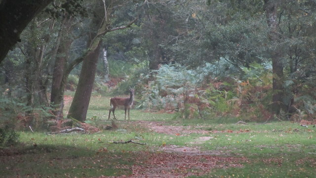 Lone deer in The New Forest