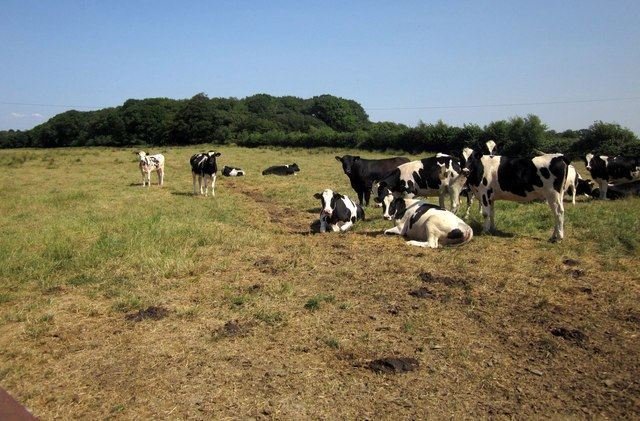 Cattle at Mouseberry Cross