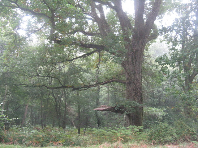 Broken oak on Fancy Road
