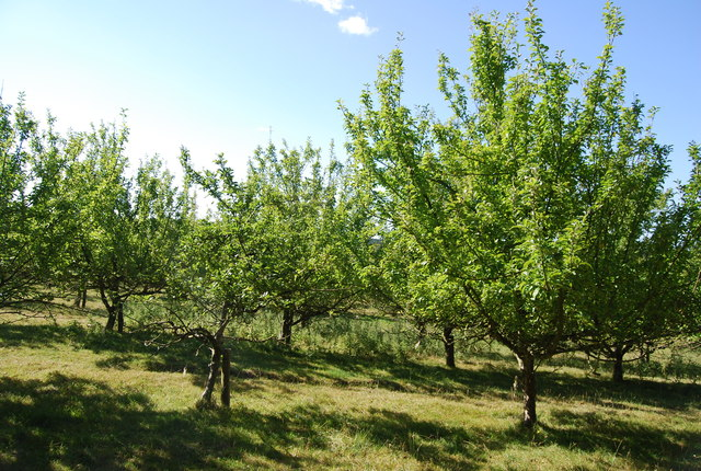 Orchard by Lordship Wood