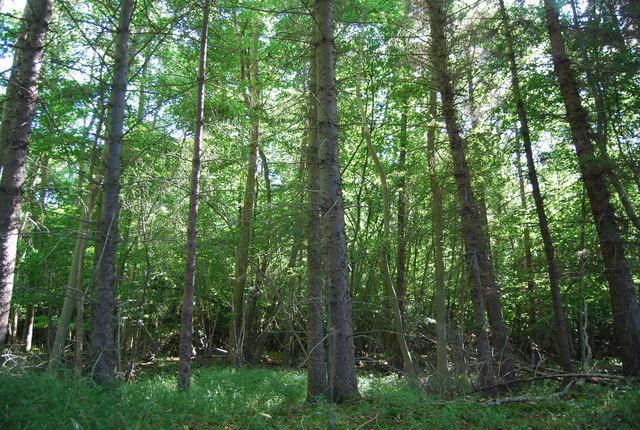 Conifers, Wellhead Wood