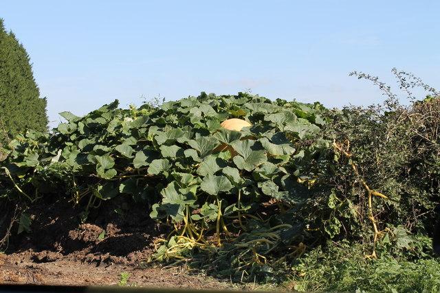 Pumpkin growing by Welbourn Road