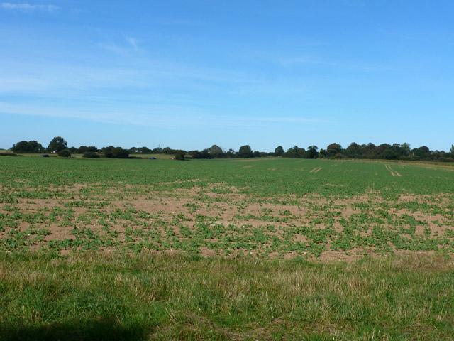 Field of beet