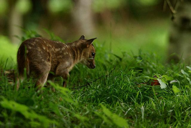 Muntjac Deer Fawn