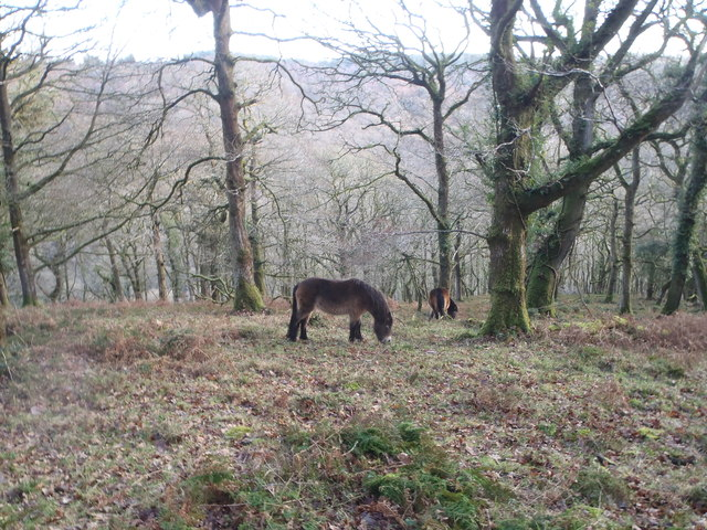 Exmoor ponies grazing on ancient woodland at Horner Wood