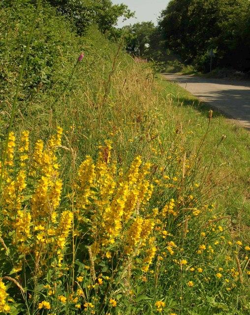 Yellow Loosestrife, West Burrow Moor