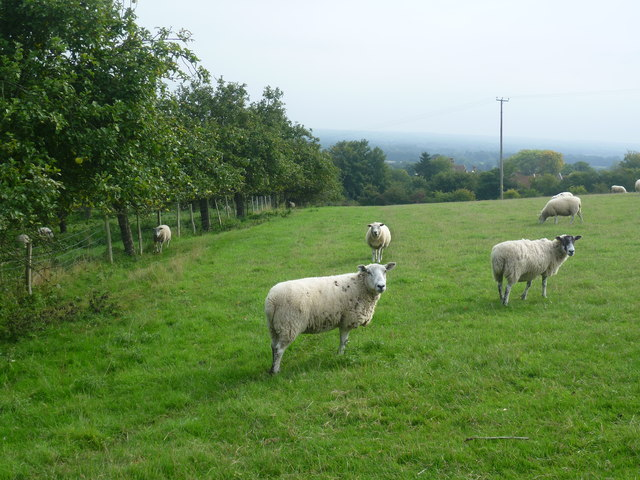 Sheep seen from the Greensand Way