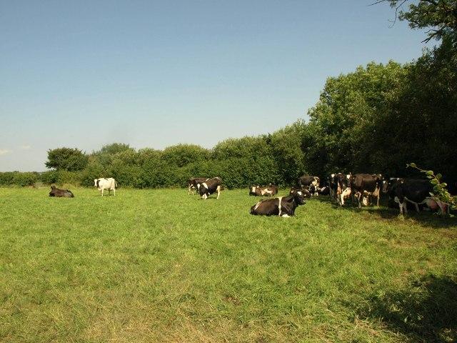 Cattle, Horseford Farm