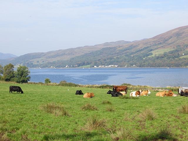 Cattle, Shalunt