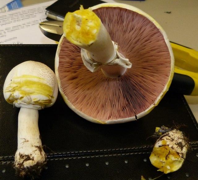 Agaricus xanthodermus - indicative chrome yellow