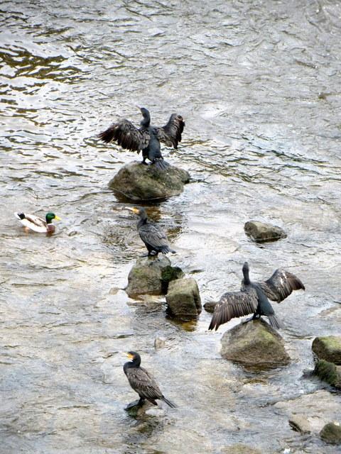 Cormorants below the Old Dee Bridge