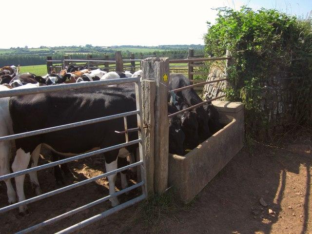 Bullocks near West Yeo