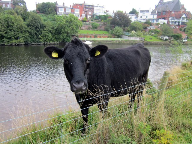 Cow on the Earl's Eye