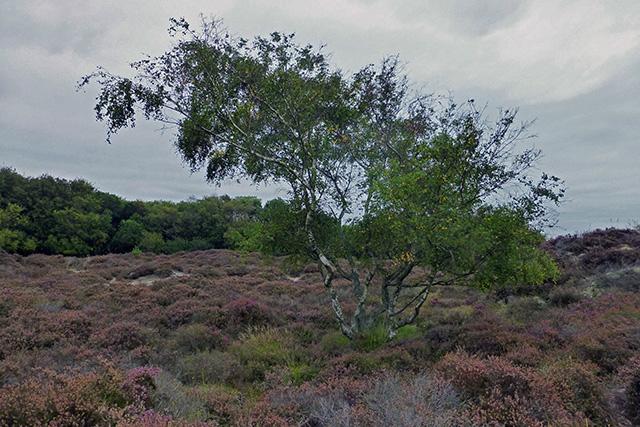 Birch on Studland Heath