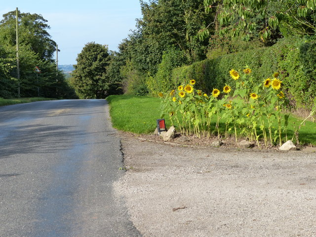Sunflowers at the entrance to Kenilworth House