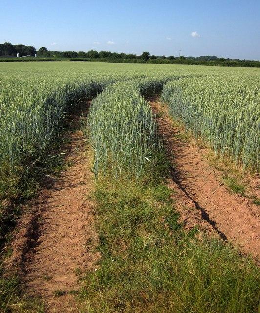 Tramlines in wheat near Dart Raffe Farm